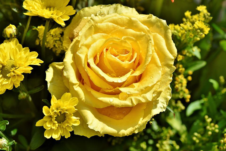Rose Bloom Pale Yellow Free Photo On Pixabay