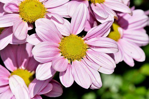 Pink flowers images pixabay download free pictures marguerite tree daisy ornamental plant mightylinksfo Choice Image
