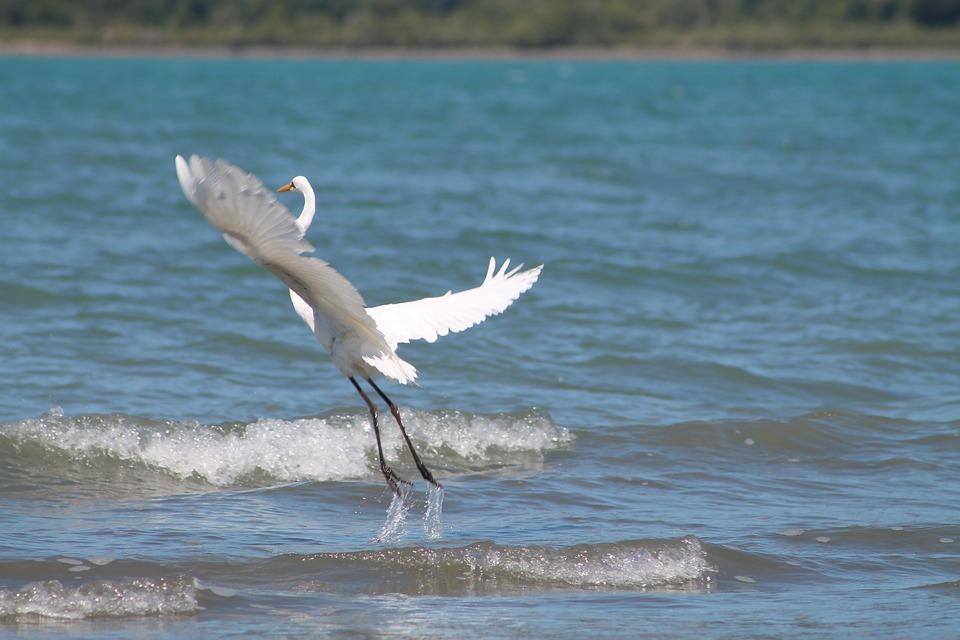 Great, Egret, White, Heron