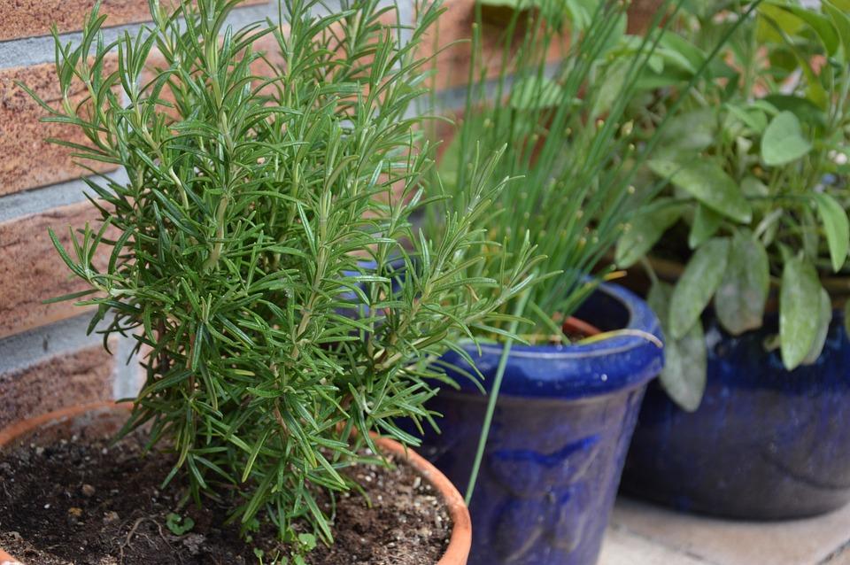 Pflanzen Kräuter Rosmarin Kostenloses Foto Auf Pixabay