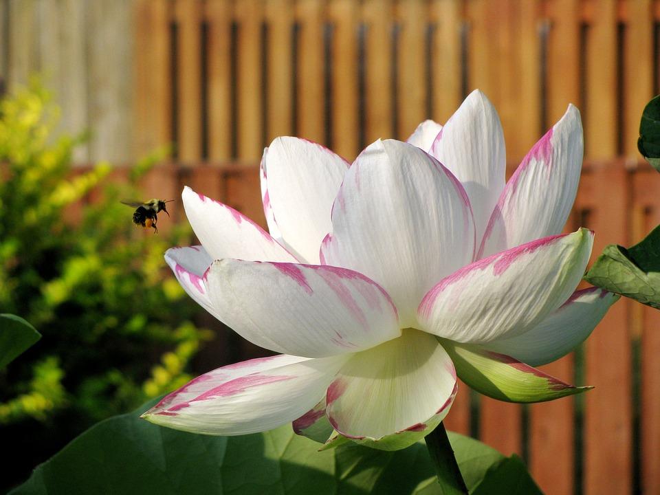 Lotus flower white free photo on pixabay lotus flower white petal lotus flower blossom mightylinksfo Choice Image