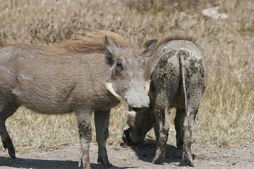Warthog, Muddy, Mammal, Nature, Animal