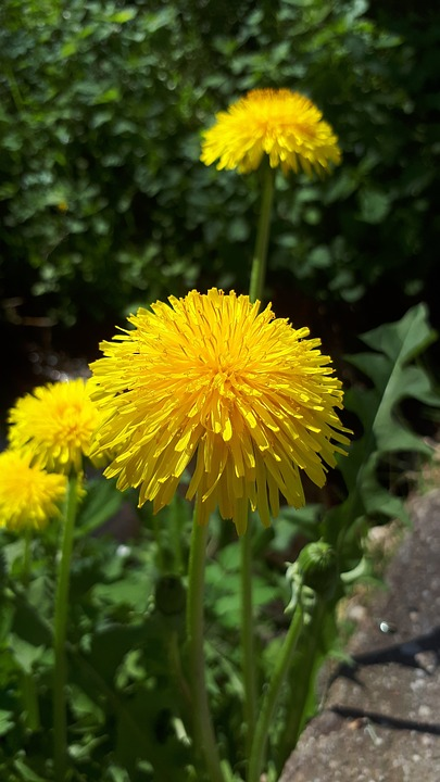 Dandelion flower yellow free photo on pixabay dandelion flower yellow spring nature bloom mightylinksfo Images