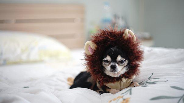 100 Free Chihuahuapuppy Chihuahua Images Pixabay