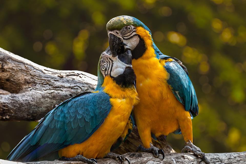 Parrots, Exotic, Ara, Animal, Birds, Love, Couple