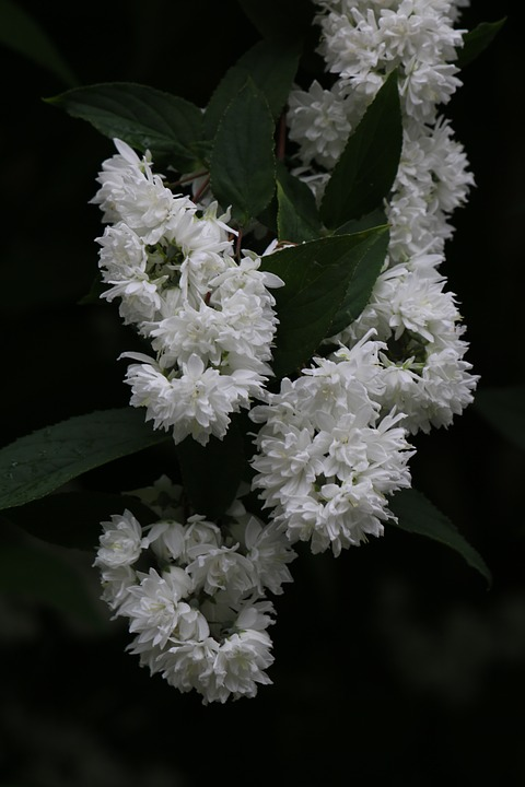 Arbusto Fiori Bianchi.Deutzia Arbusto Fiori Bianchi Foto Gratis Su Pixabay