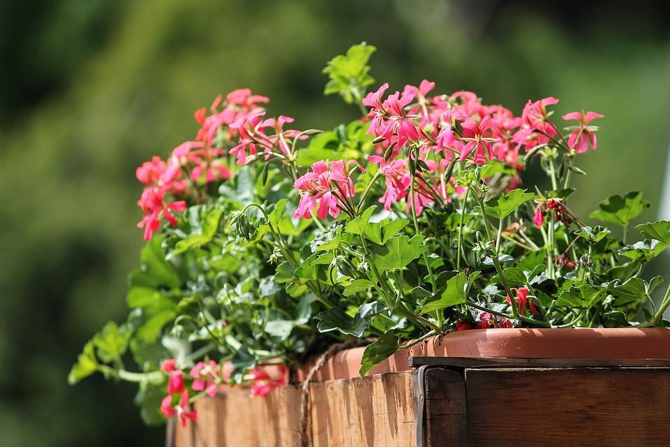 Geranium Bloemen Balkonplant - Gratis foto op Pixabay