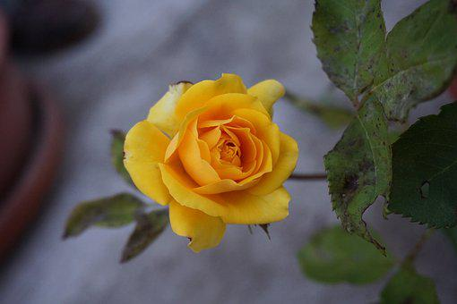 Yellow roses images pixabay download free pictures yellow rose yellow rosa flowers mightylinksfo Choice Image
