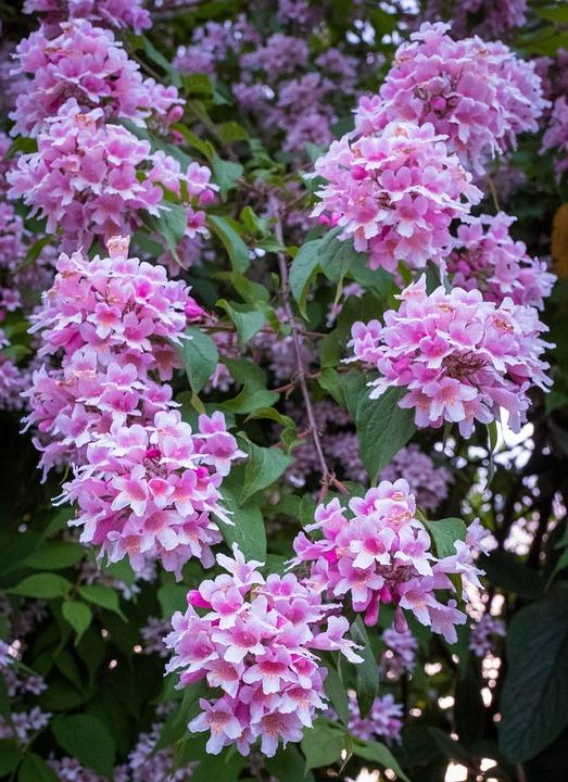 Flowers pink white free photo on pixabay flowers pink white spring bush tree green summer mightylinksfo