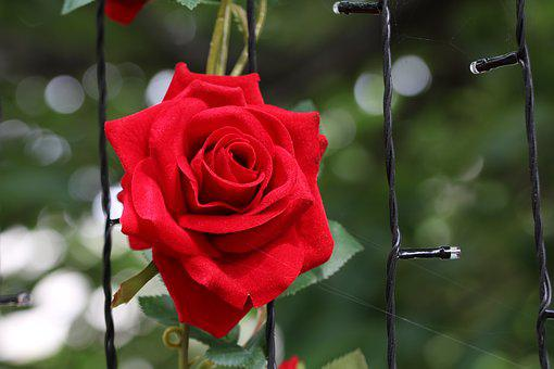 玫瑰, 玫瑰花, 鲜花, 美丽, 玫瑰园, 大自然, 春天, 新鲜的培养基中