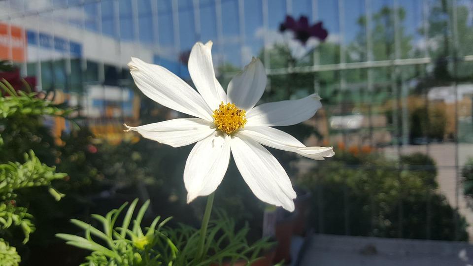 White flower free photo on pixabay white flower flower white shade garden sky bars mightylinksfo