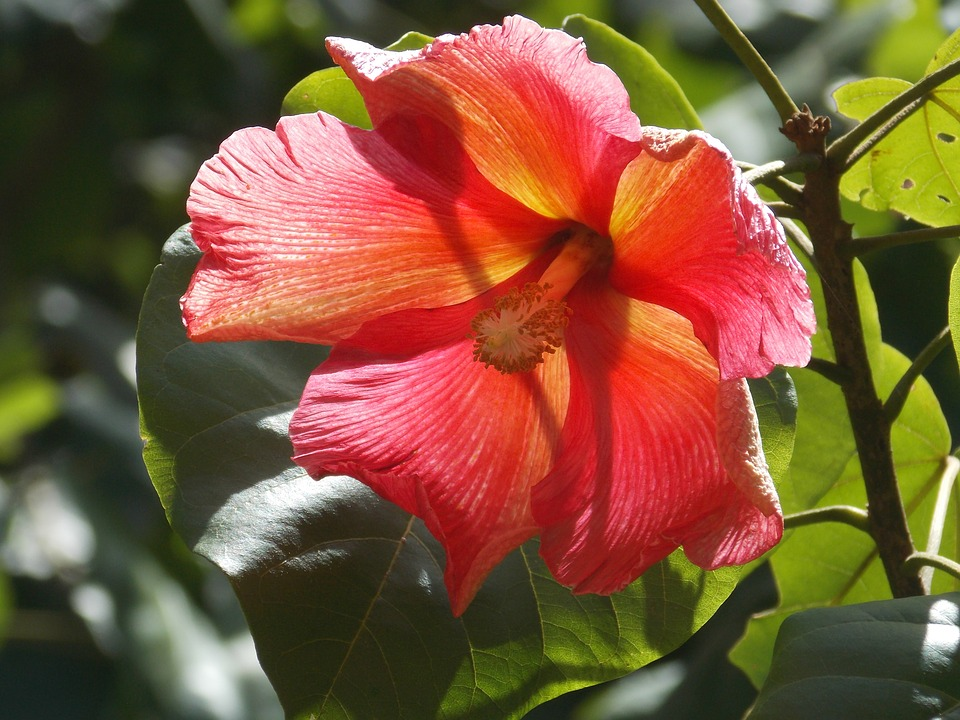 Flower Maga Puerto Rico Thespesia Free Photo On Pixabay