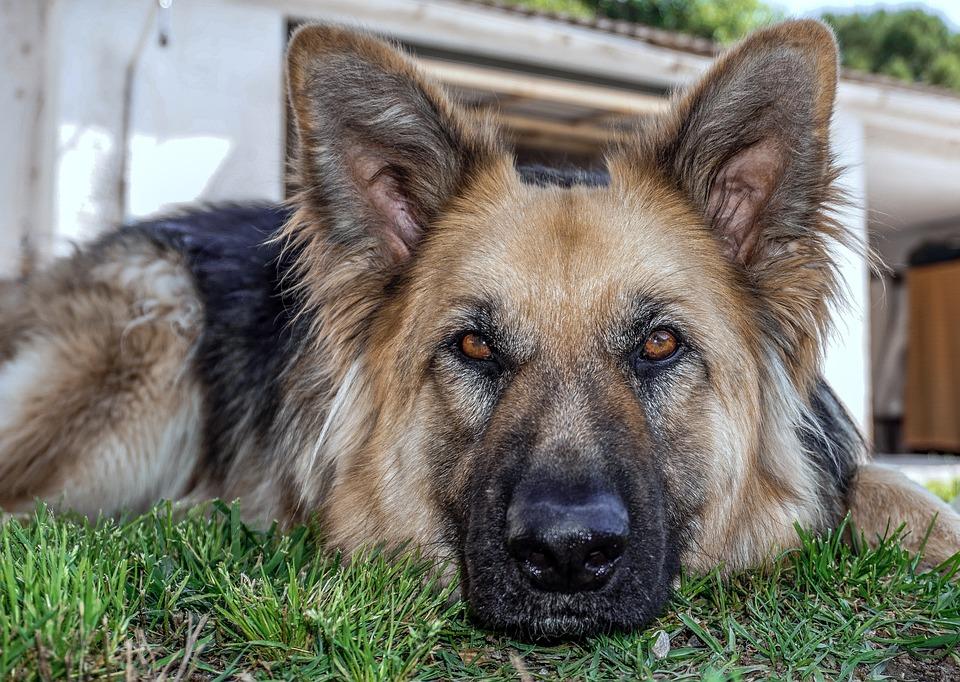 Dog, Animal, Sheepdog, Dog Wolf, German Shepherd Dog, t