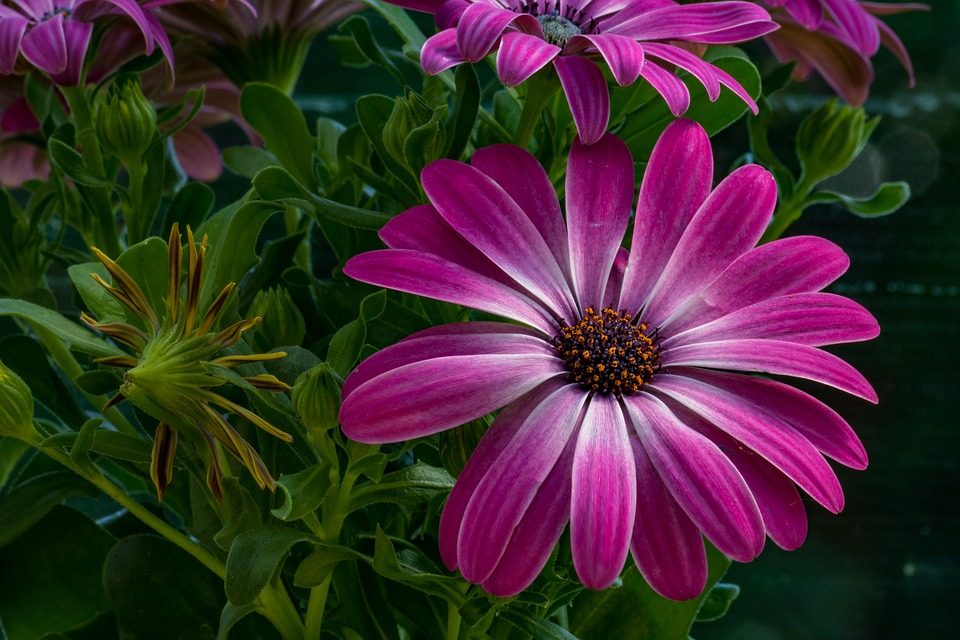 African daisy pink free photo on pixabay african daisy daisy pink flower macro flower heads mightylinksfo Images