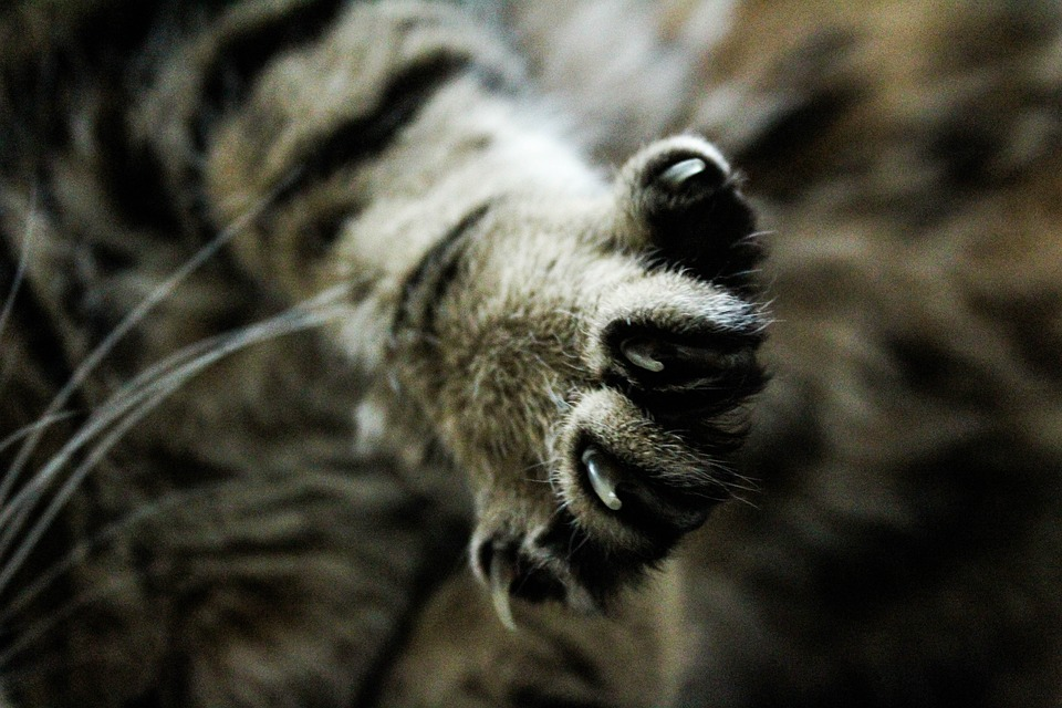 Animal, Brown, Cats, Pet, Nature, Animals, Cat, Claw