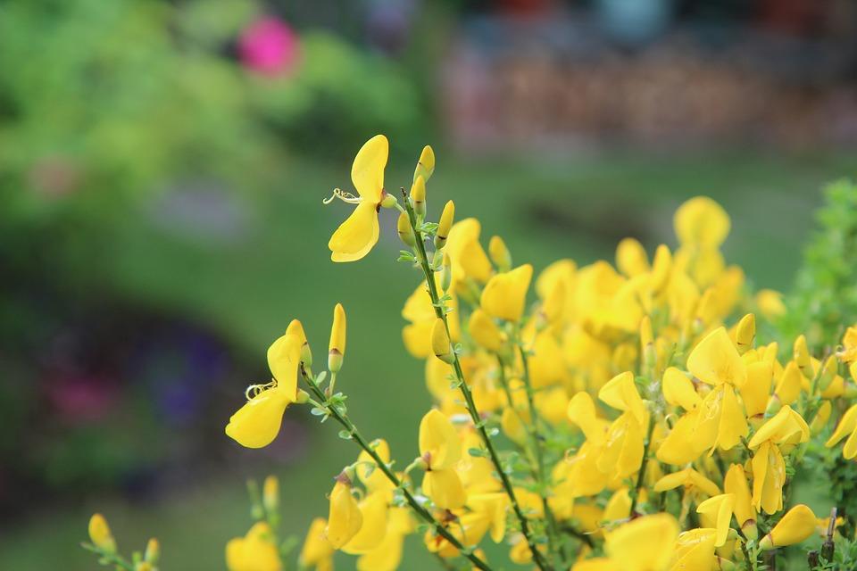 Broom yellow flowers free photo on pixabay broom broom yellow flowers spring mightylinksfo Choice Image