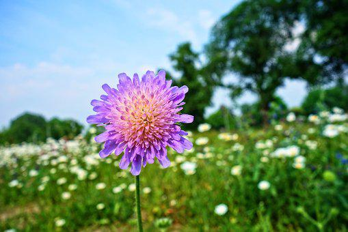 Pink flowers images pixabay download free pictures knautia arvensis field scabious mightylinksfo Choice Image
