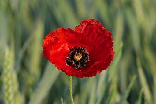Poppy flower images pixabay download free pictures klatschmohn poppy flower cornfield mightylinksfo Choice Image