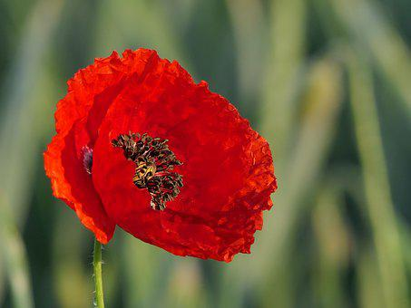 Red poppy images pixabay download free pictures klatschmohn flower red blossom bloom mightylinksfo