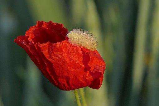 Poppy flower images pixabay download free pictures klatschmohn poppy flower poppy mightylinksfo Choice Image