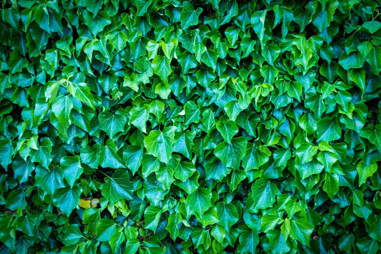 Картинки зеленого плюща