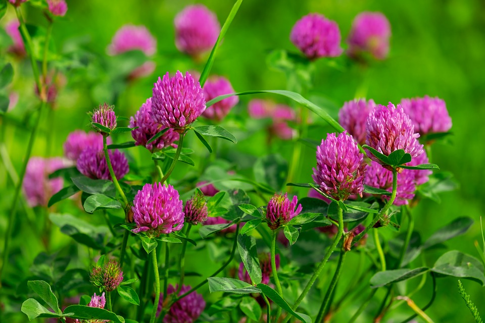 Klee, Fiore, Viola, Red Clover, Trifolium Pratense