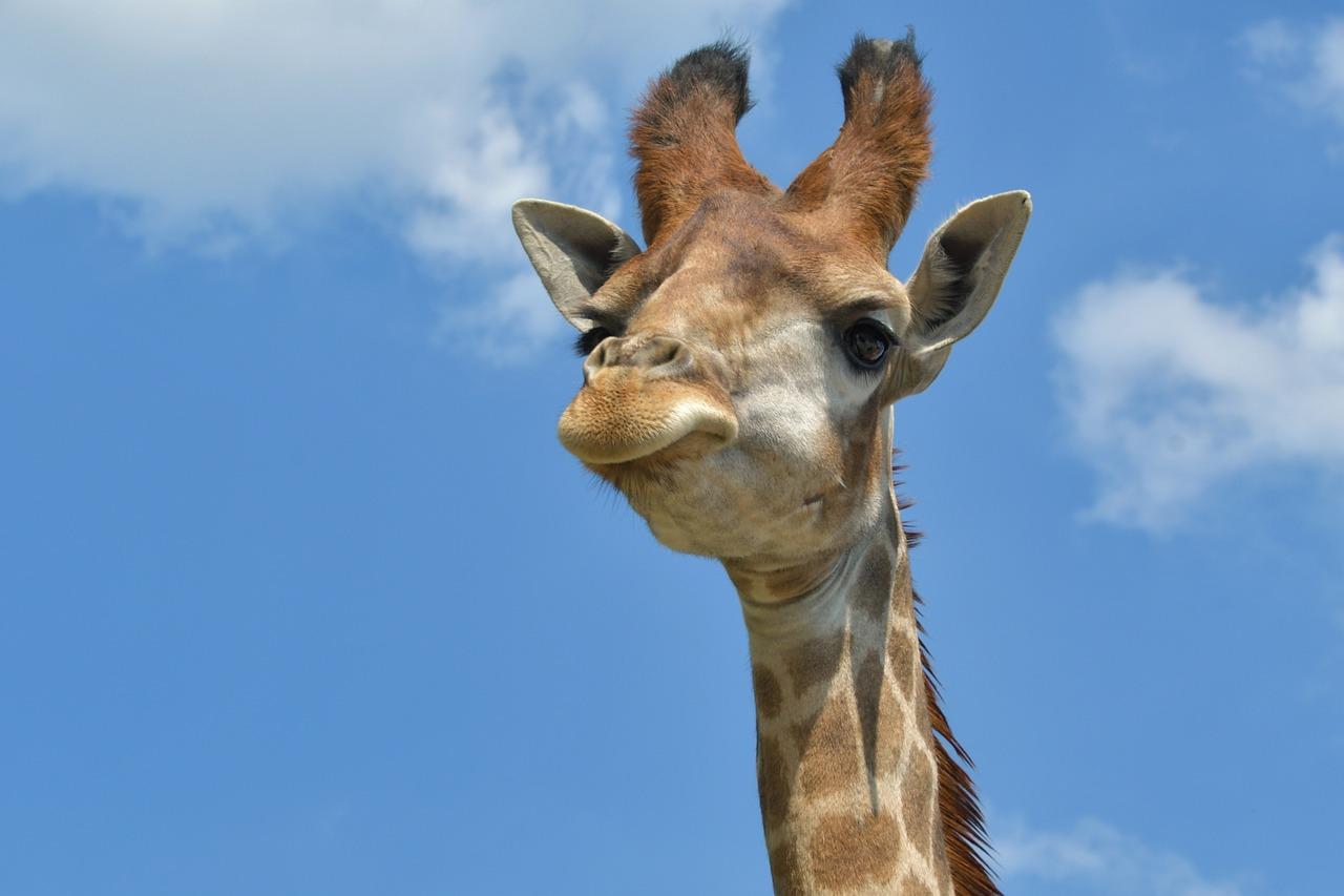 Картинки жирафа прикольный, картинки