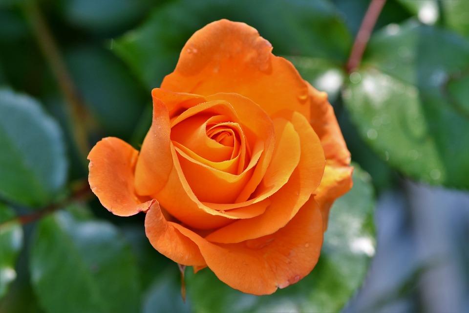 バラ, 満開のバラ, 淡い黄色のバラ, 花, オレンジ, 庭, オレンジ ローズ, ローズ ガーデン