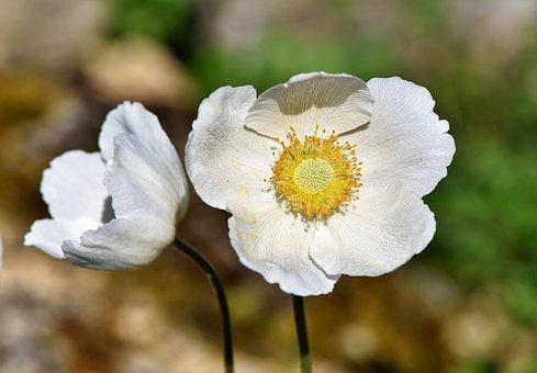 Anemone, Florets, Blossom, Bloom