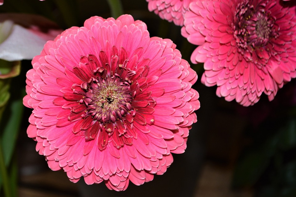 Pink flower gerbera free photo on pixabay pink flower pink gerbera gerbera pink flower mightylinksfo Images