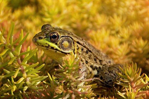 Frog, Amphibian, Bullfrog