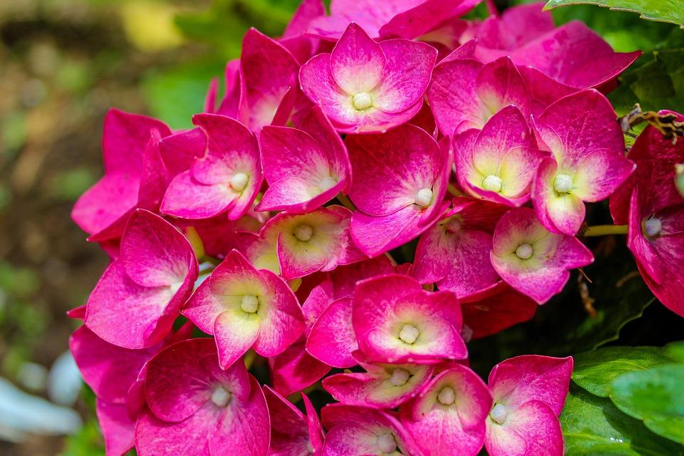 Download 770+ Gambar Bunga Hortensia Terbaik