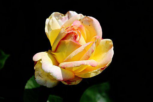 Yellow flowers images pixabay download free pictures rose yellow orange yellow rose mightylinksfo Gallery