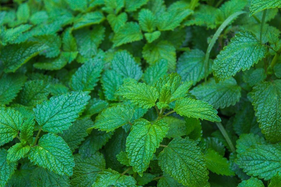 Melissa, Melissa Officinalis, Aromatique, Nature