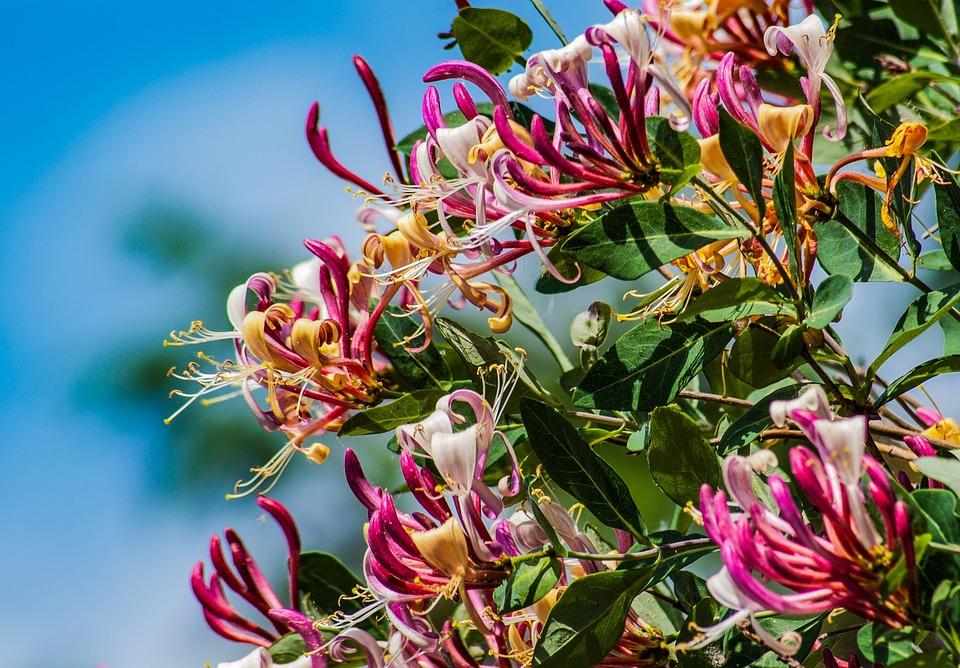 Honeysuckle, Flower, Spring, Creeper, Hanging Flower