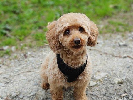 Poodle, Dog, Miniature Poodle