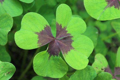 Luck, Four Leaf Clover, Lucky Clover