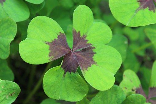 Luck, Four Leaf Clover, Lucky Clover