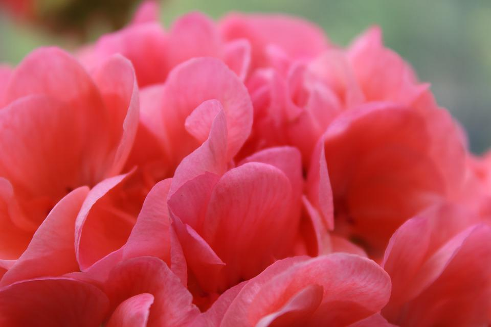 Flower pink geranium free photo on pixabay flower pink flower geranium close petals pink mightylinksfo Images