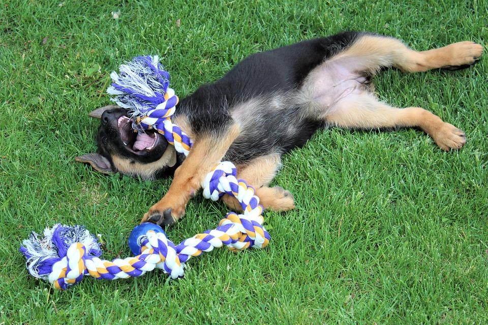 Ogromny Pies Szczeniak Owczarek Niemiecki - Darmowe zdjęcie na Pixabay NC58