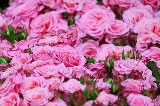Pink rose images pixabay download free pictures roses pink roses blossom bloom mightylinksfo