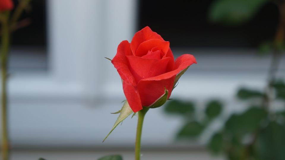 Download 70 Gambar Bunga Rose Yang Cantik Paling Cantik HD