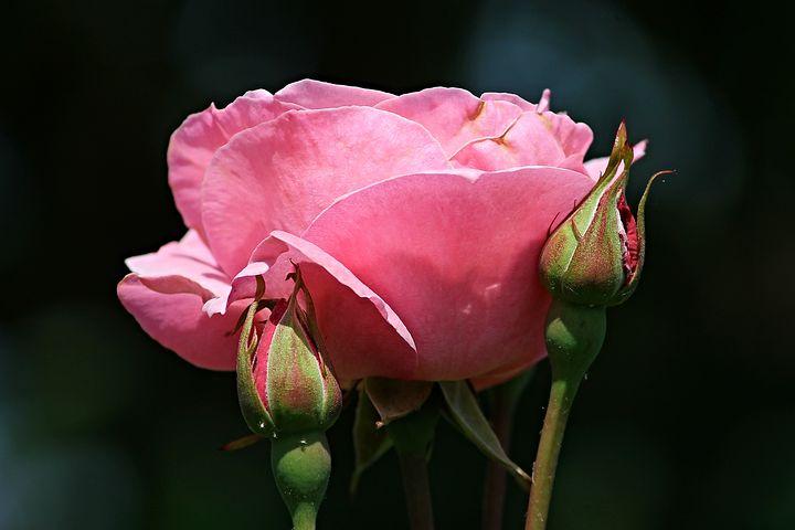 Картинки с распускающейся розой