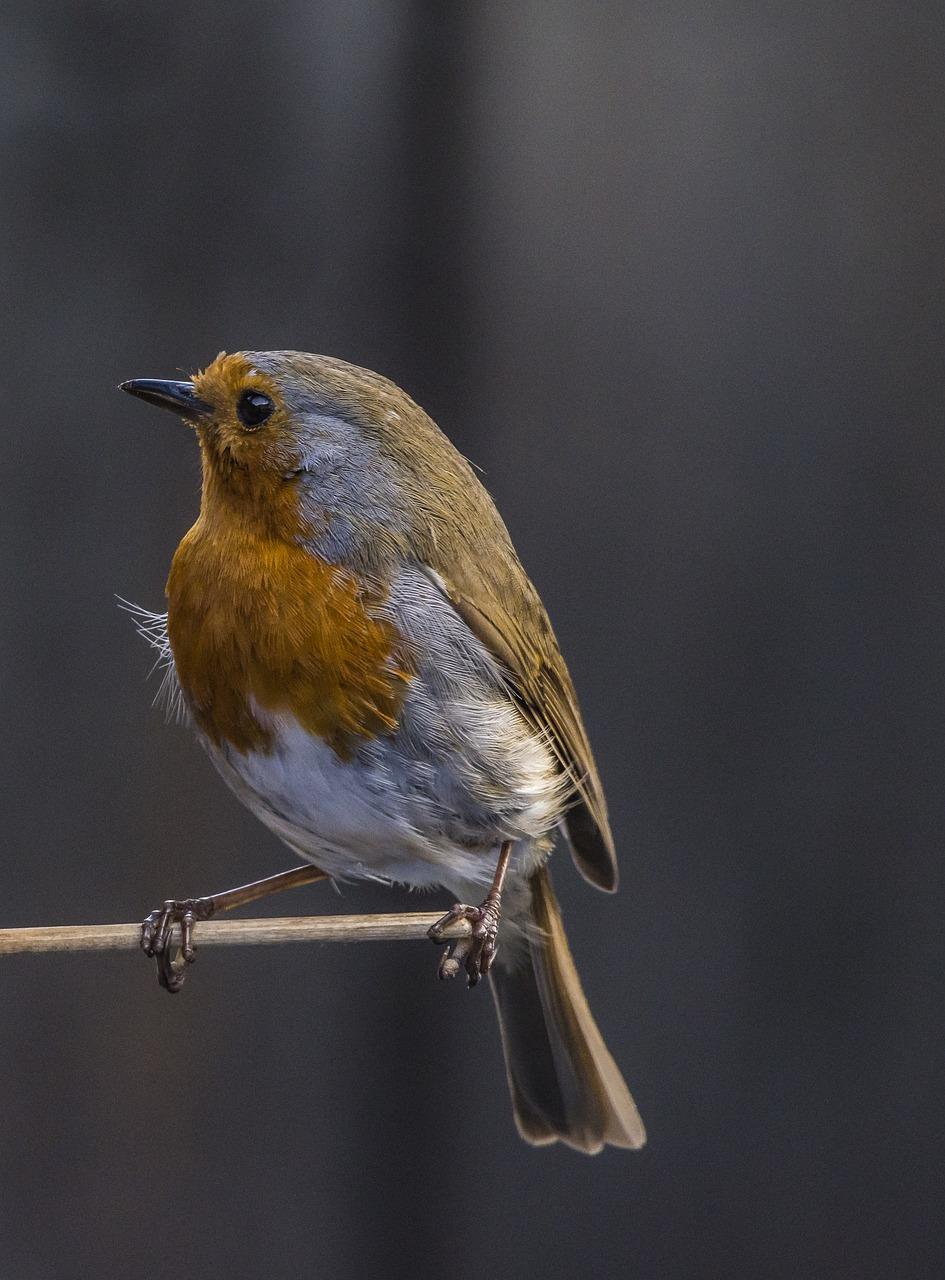 видела картинки птицы робина новом сезоне персонаж