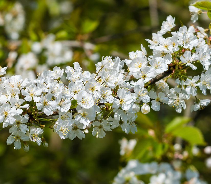 Biancospino, Fiore, Impianto, Natura, Fioritura