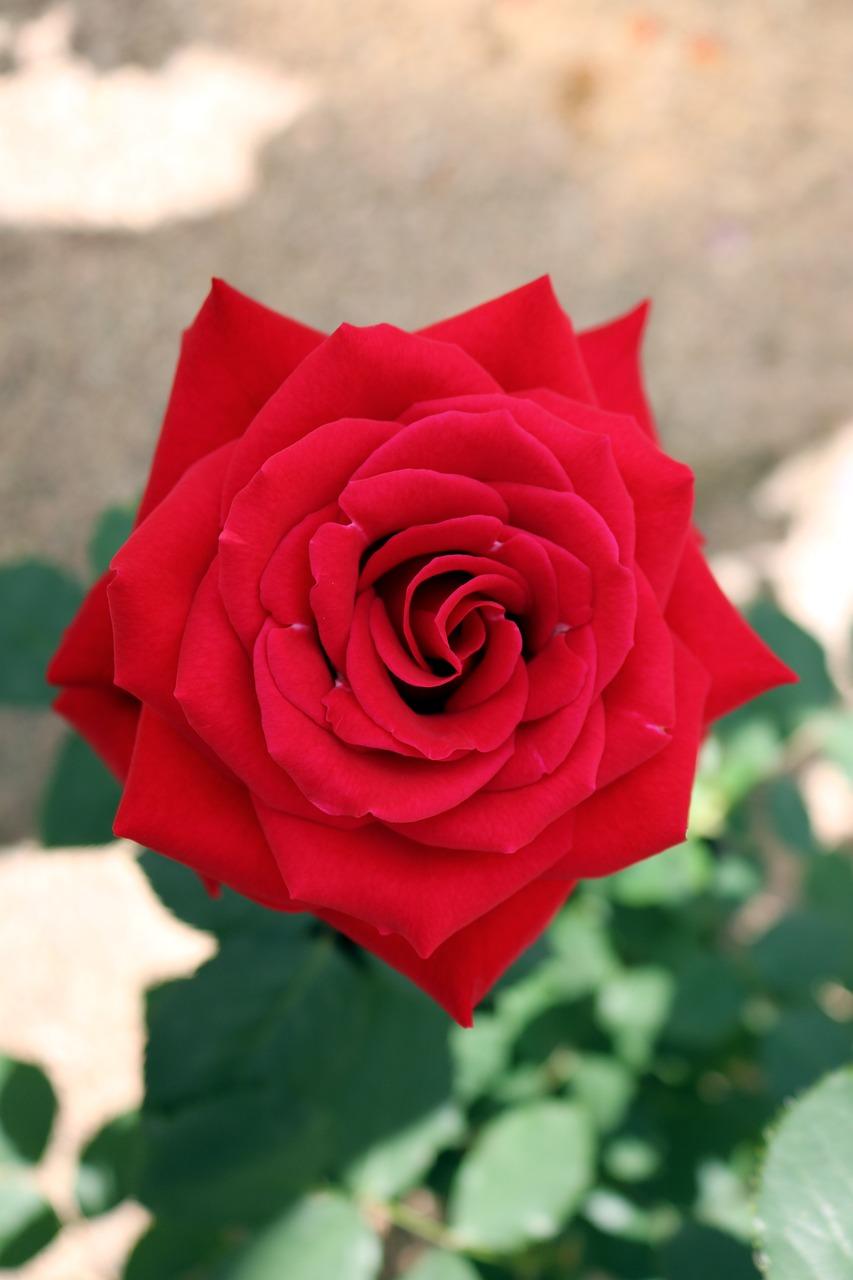 Roses Nature Garden Free Photo On Pixabay