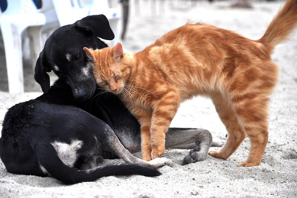 Koira, Cat, Eläimet, Kotimaan, Gata, Kitten, Eläinten