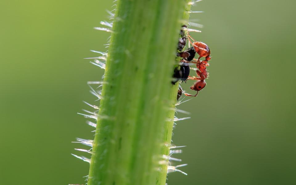 Brown Wegameise, Lasius D'Ateles, Ant, Tiny