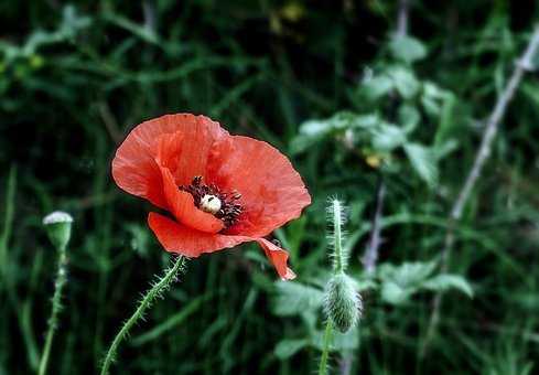 Poppy flower images pixabay download free pictures poppy flower wild flowers red spring mightylinksfo