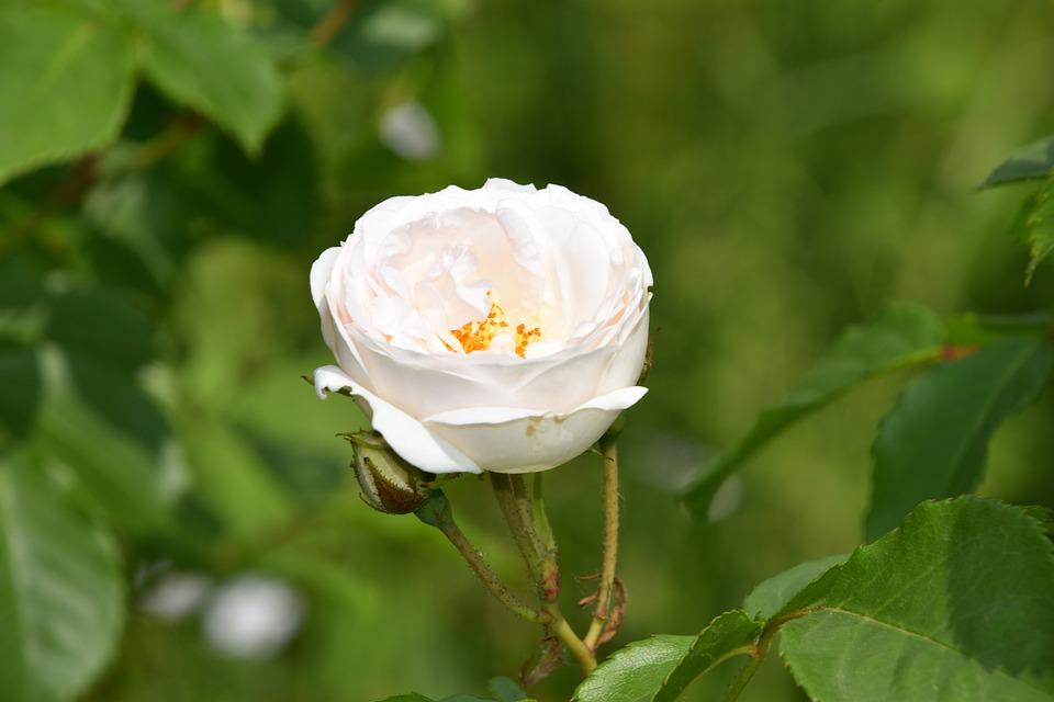 Rose Fleur Plante Photo Gratuite Sur Pixabay